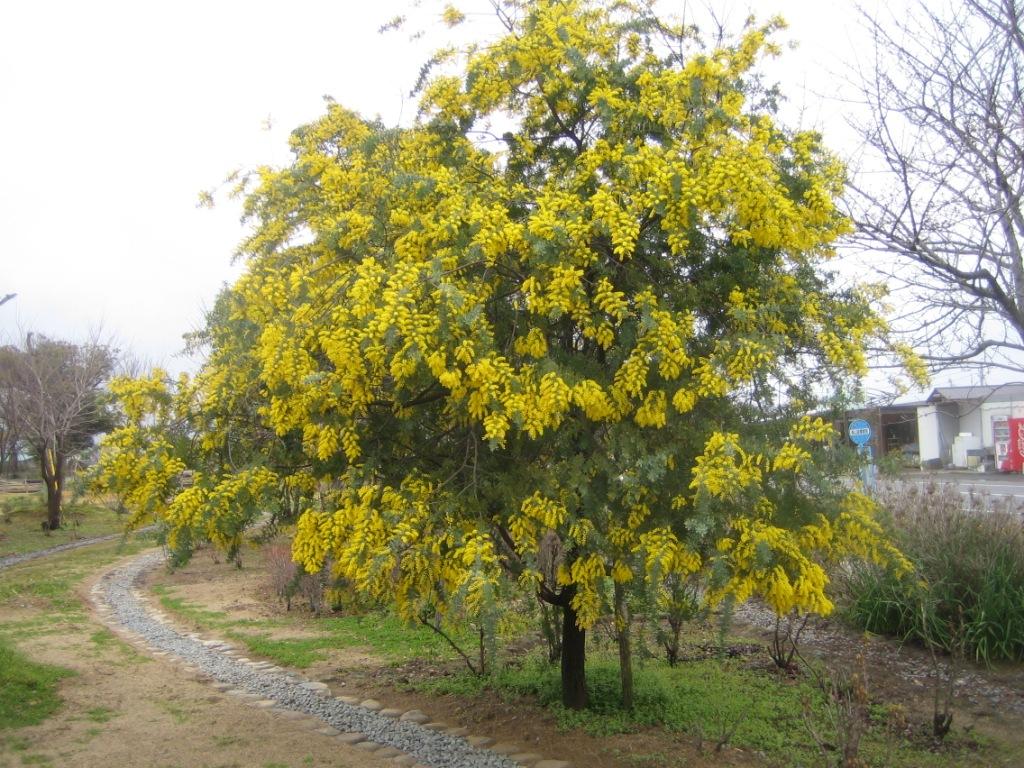 ミモザ の 木 庭木にミモザアカシアを庭に植えたい注意するポイントは